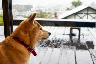 雨で濡れた外を眺める柴犬