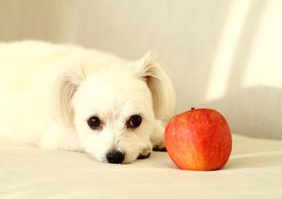 白い犬とリンゴ