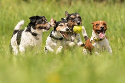 草原を並んで走る四頭の犬