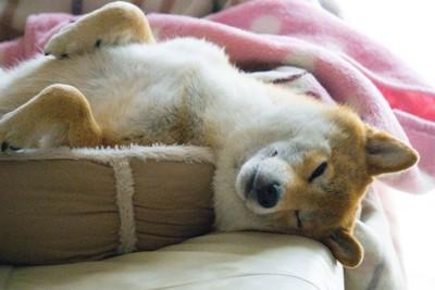 犬用のベッドから頭をはみ出して寝ている犬