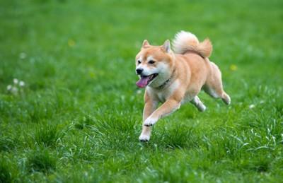 草原を走る柴犬