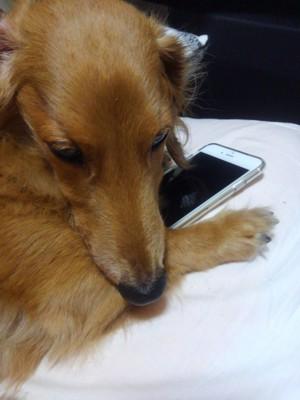 スマホを隠す愛犬