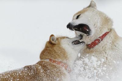 雪の中で取っ組み合いをする二匹の柴犬
