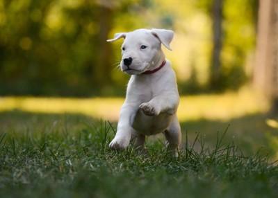 ドゴアルヘンティーノの子犬