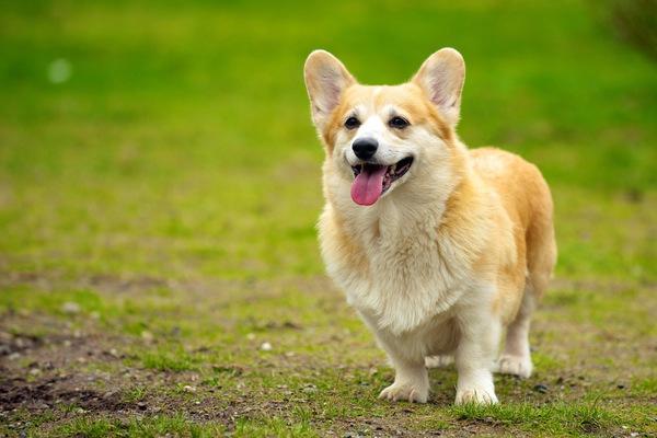 フリスビードッグに挑戦中の犬