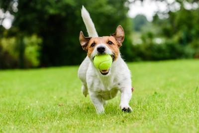 ボールで遊ぶジャックラッセルテリア