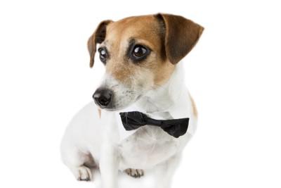 蝶ネクタイをした犬