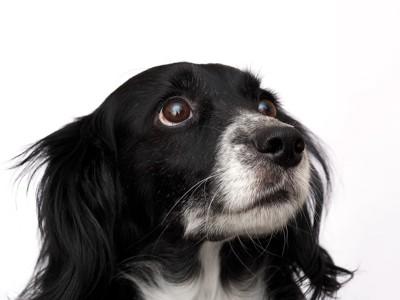 何かを見上げている犬