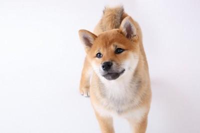 柴犬の子犬、白い背景