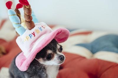 バースデーケーキの形をした帽子を被る犬