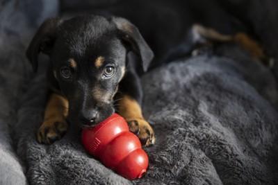 室内でひとり遊びする犬