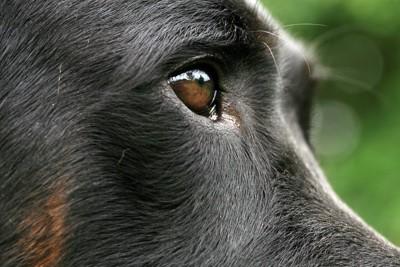 黒い犬の横顔