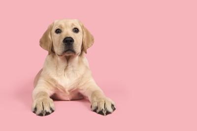 ラブラドール子犬、ピンクの背景