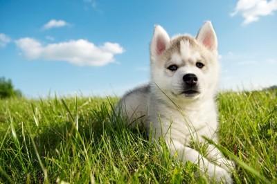 青空とハスキーの子犬