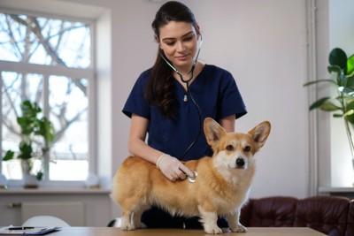 獣医師に聴診器を当てられているコーギー