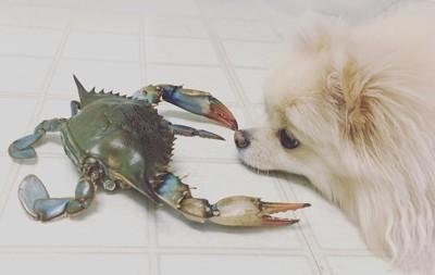 床に伏せて蟹と向き合う犬