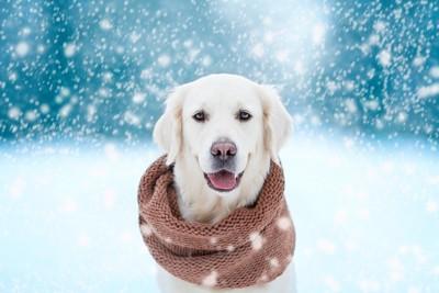 雪のなかマフラーを巻いた犬