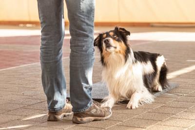 飼い主さんを見上げているトレーニング中の犬