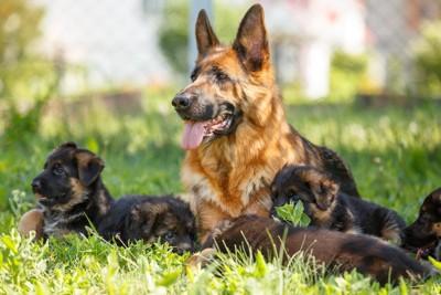ジャーマンシェパードドッグの成犬と子犬