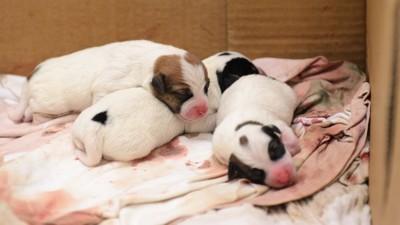 ダンボール箱の中で眠る生まれたばかりの子犬たち