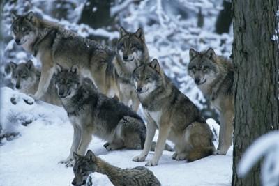 雪の中のオオカミの群れ