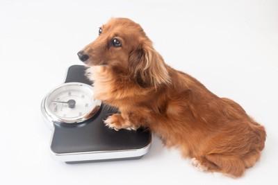 体重計に乗る犬