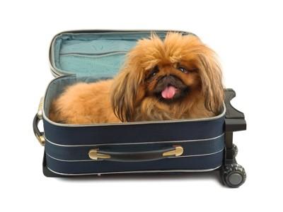 スーツケースに入ってくつろぐペキニーズ