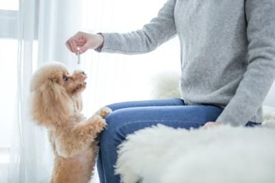 立ち上がって飼い主が持つおやつを欲しがる犬
