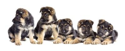 たくさんのジャーマンシェパードドッグの子犬 126940787