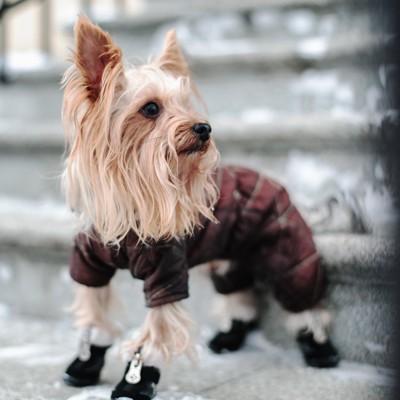 洋服を着て靴を履いて歩くヨーキー