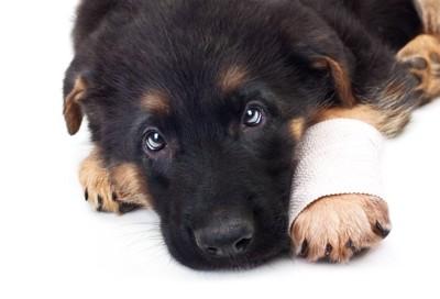 手首に包帯を巻いた子犬