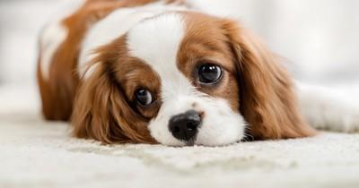 カーペットの上に寝そべるスパニエル犬