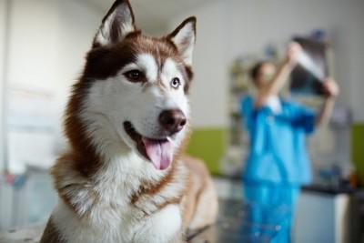 レントゲン写真を見る獣医師とシベリアンハスキー