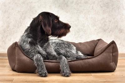 自分のベッドでくつろぐ横を向いた犬
