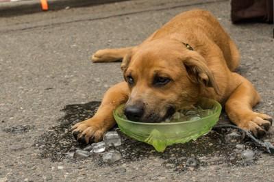 暑くて氷水に顔をつける犬
