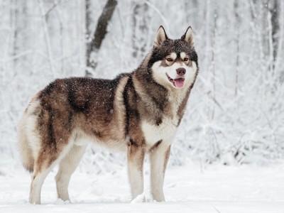雪景色とブラウンの瞳のシベリアンハスキー