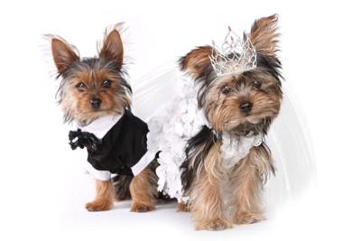 ウェディングドレスとタキシードを着た犬