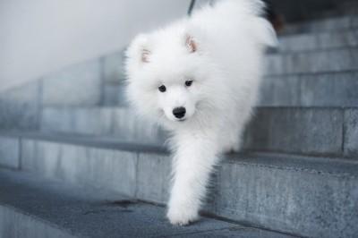 階段を降りる白い犬