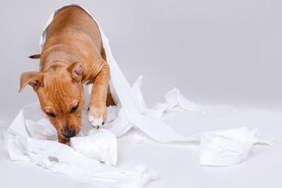 トイレットペーパーで遊ぶ犬
