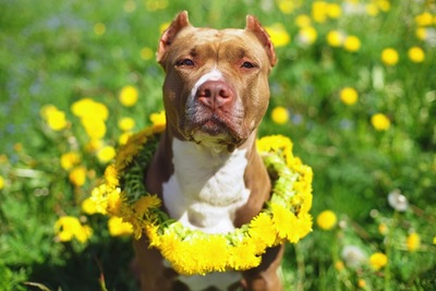 黄色い花とピットブル