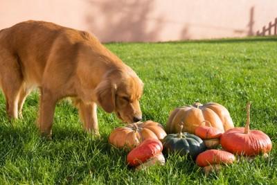 かぼちゃと犬