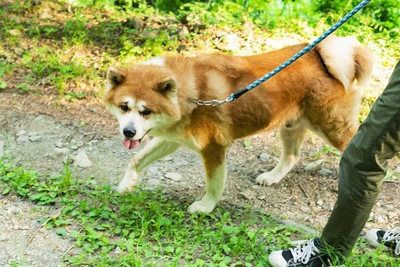 飼い主と散歩をする秋田犬