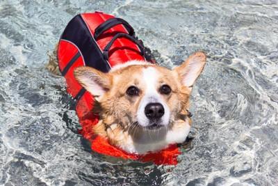ライフジャケットを着て泳ぐコーギー