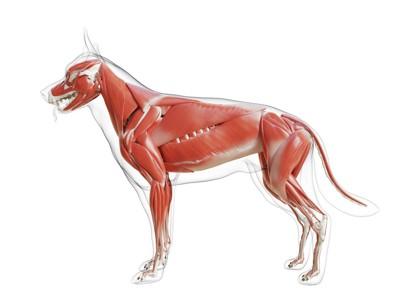 犬の筋肉イメージ
