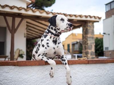 塀に手をかけて遠くを見つめる犬