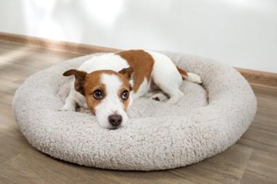 丸いベッドにうつ伏せになる犬
