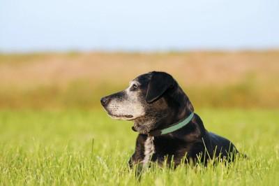 草むらの中に伏せる顔周りが白くなった黒い犬
