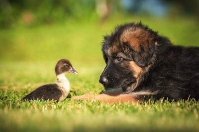 小鴨と子犬