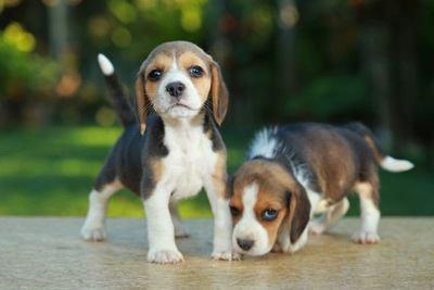 こちらを見る2匹のビーグルの幼犬