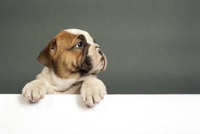 壁に手をかけるイングリッシュブルドッグの子犬